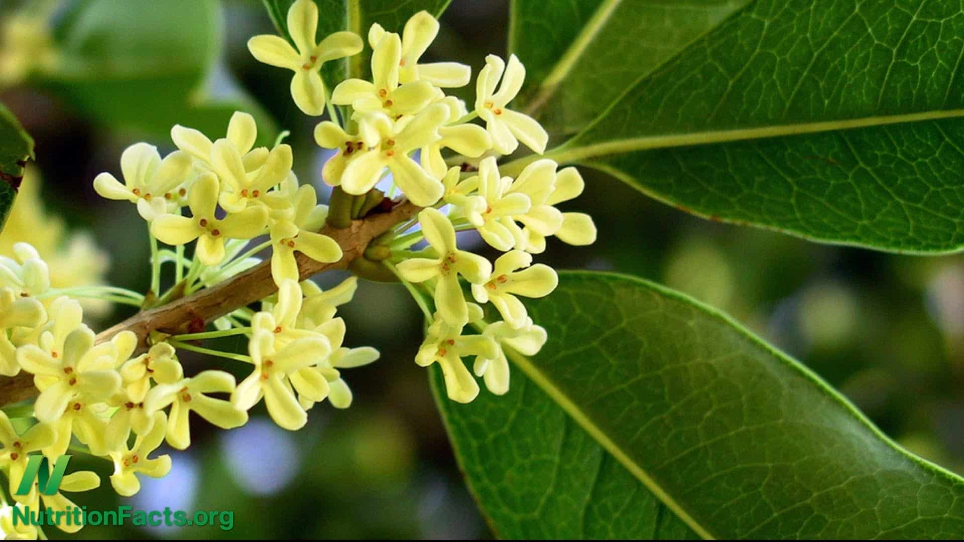 Is Osmanthus Tea Good For You?