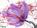 Saffron for the Treatment of Alzheimer's