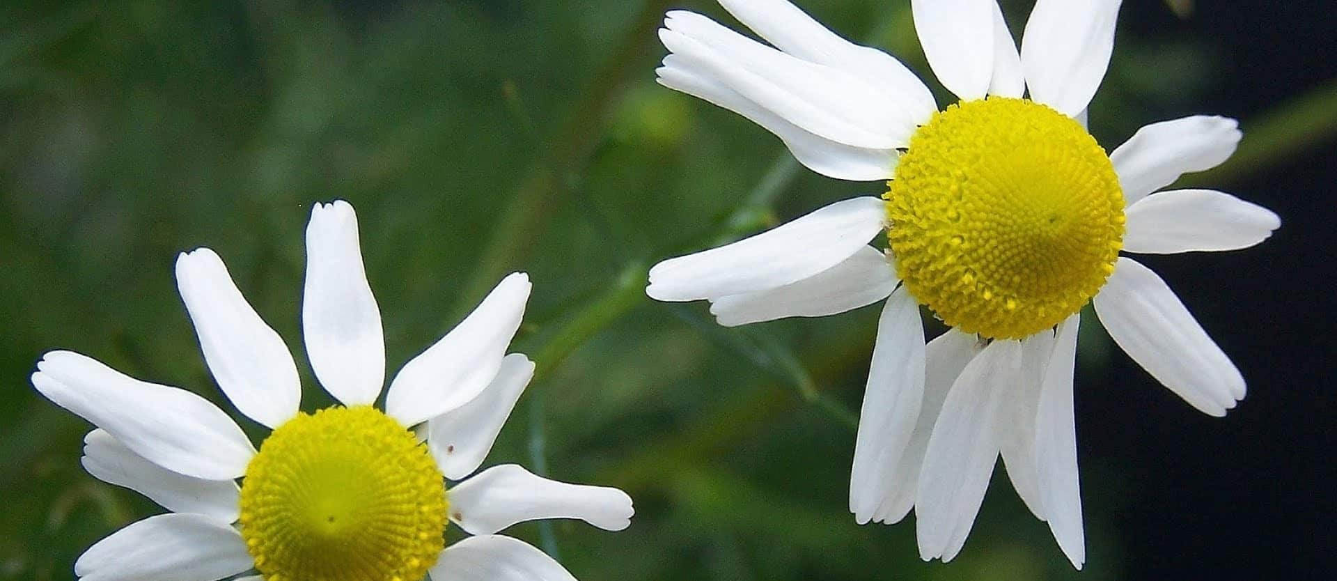 Chamomile Tea May Not Be Safe During Pregnancy Nutritionfactsorg
