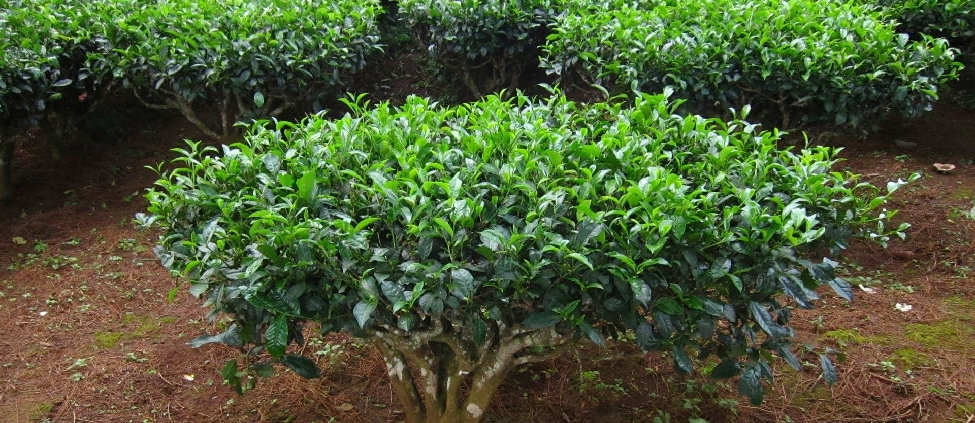 Antimutagenic Activity of Green Versus White Tea
