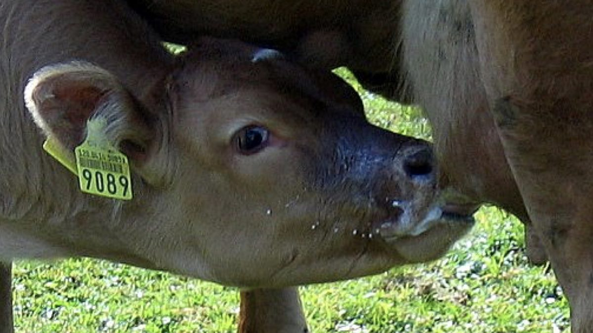 How much pus is there in milk? | NutritionFacts org