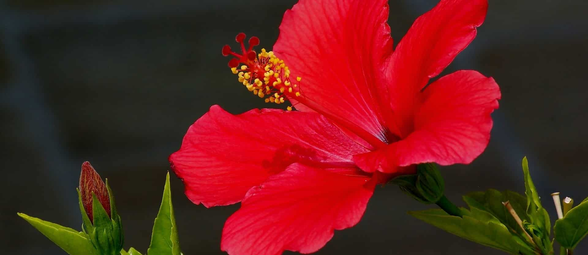 Herbal Tea Update Hibiscus Nutritionfacts