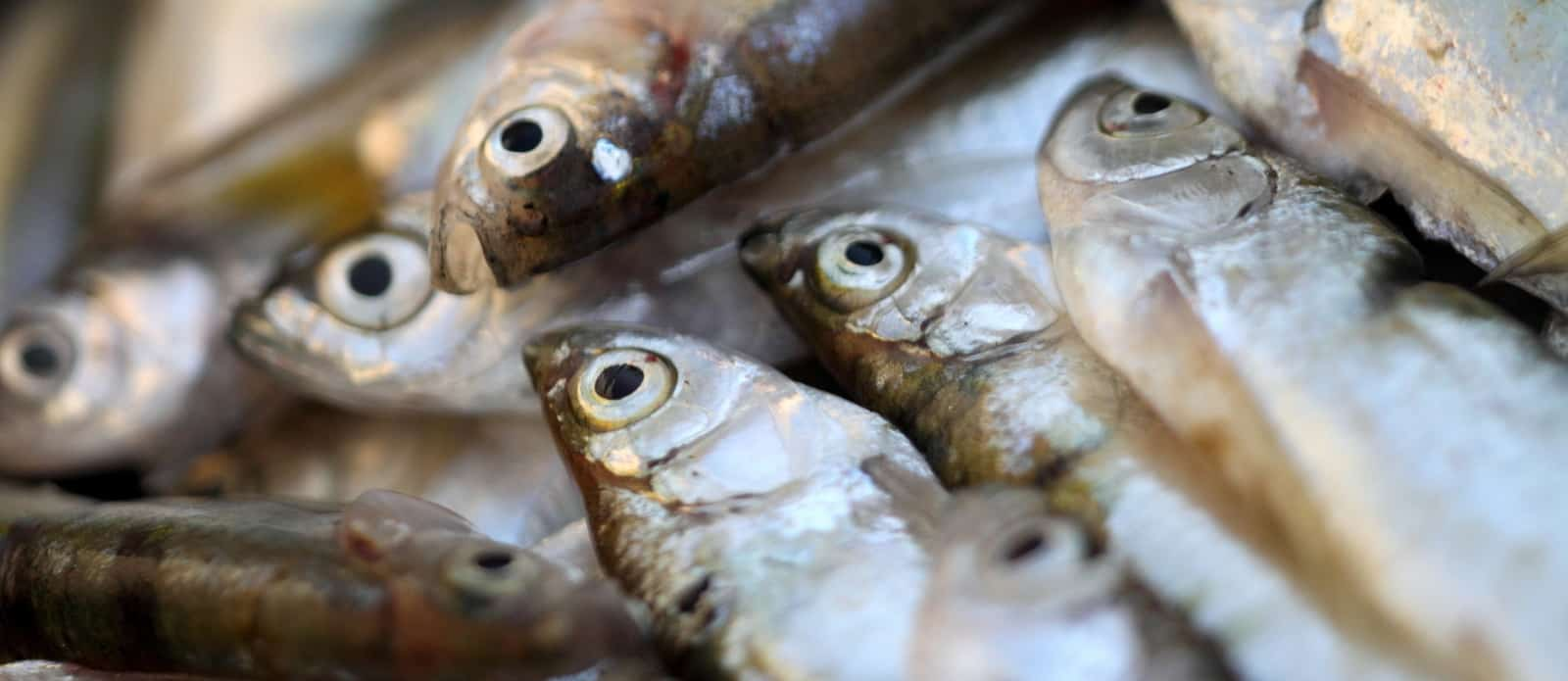 Fish Consumption Associated With Brain Shrinkage