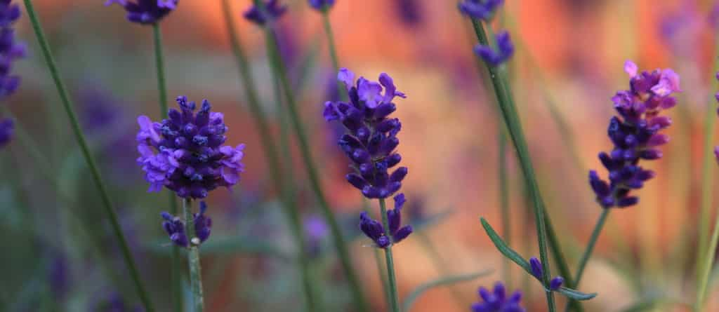 Using Lavender to Treat Anxiety