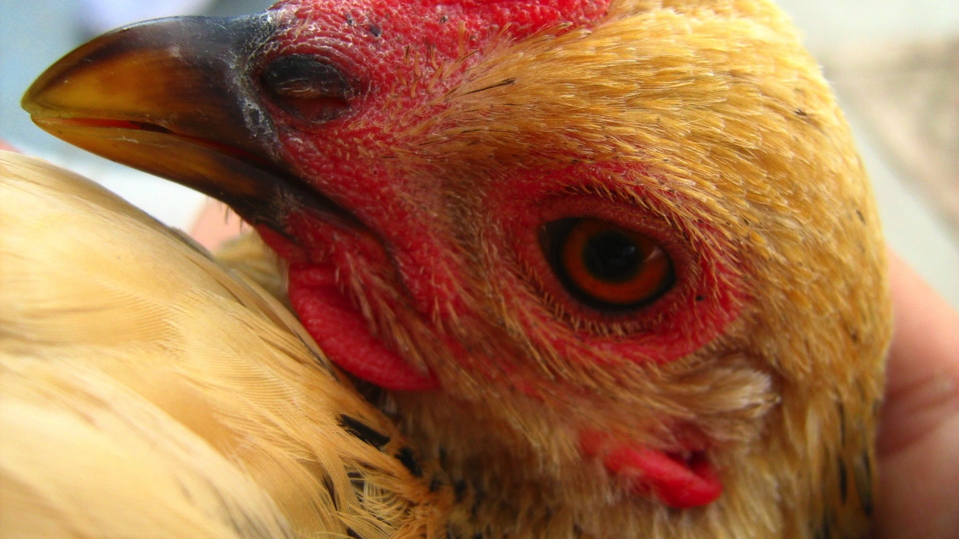 Illegal Drugs in Chicken Feathers