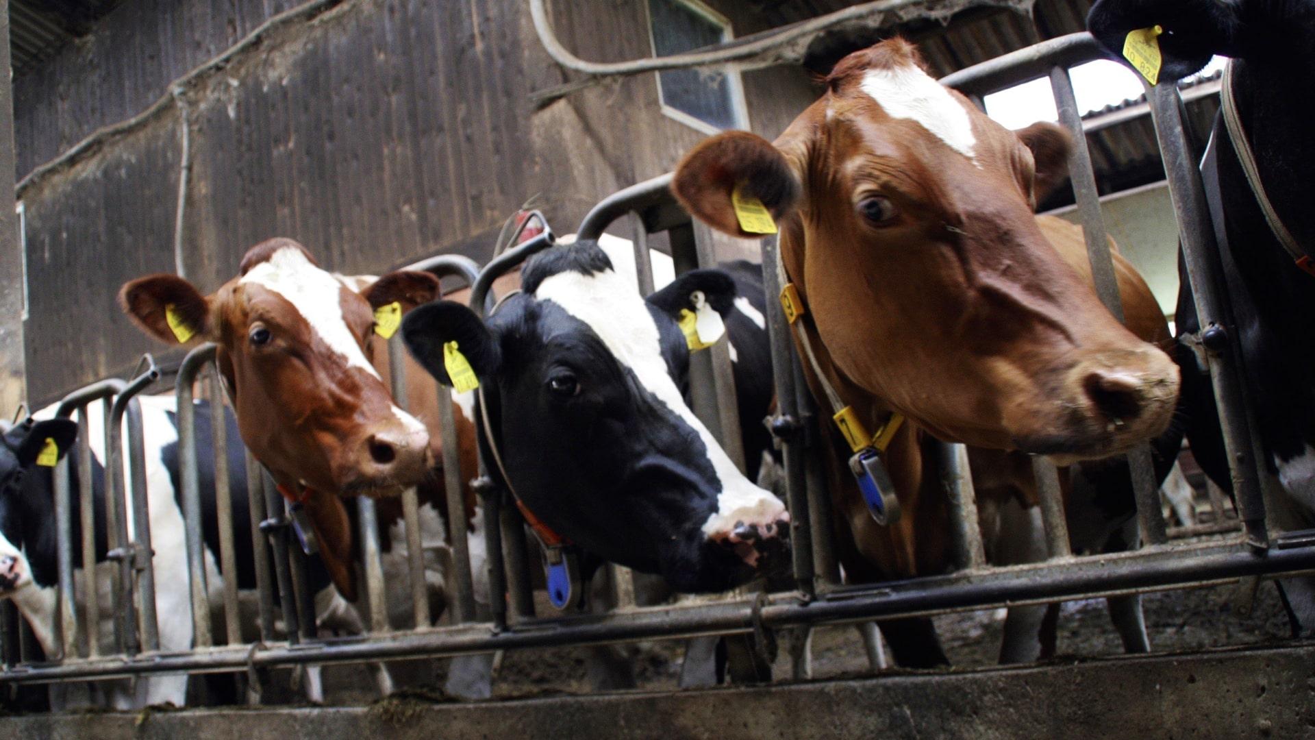Is Bovine Leukemia Virus in Milk Infectious?