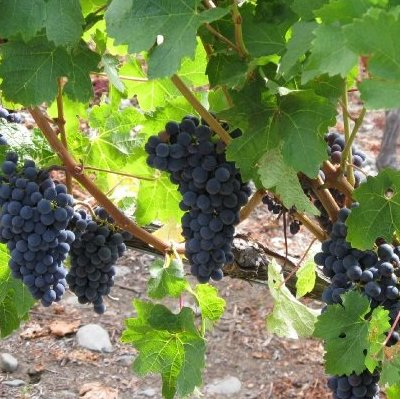 Resveratrol Health Topics Nutritionfacts Org